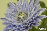 美!全球首株蓝色菊花在日本诞生
