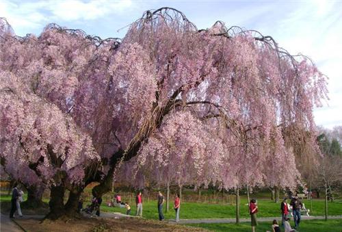 哪个旅游景区拥有中国最美的垂枝樱花
