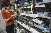 河北大城现盆栽蔬菜 食用观赏两不误