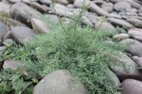泸州纳溪区:疏花水柏枝正式列入专项保护