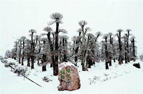 湖北特有树种对节白蜡 从险遭灭绝到热捧
