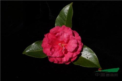 云南花农登录3个茶花新品种