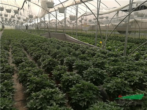 宜良盆栽草花产业发展迅猛 种植面积两年翻倍增长