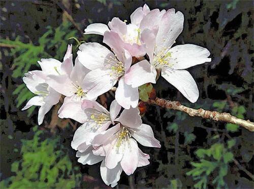 时隔百年 日本再次发现新品种樱花