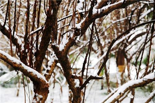 大雪来袭 如何为雪后苗木疗伤?