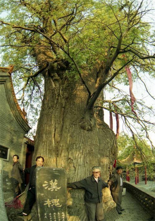 跨越23个世纪 山西一汉槐壮如牛 树干高30米