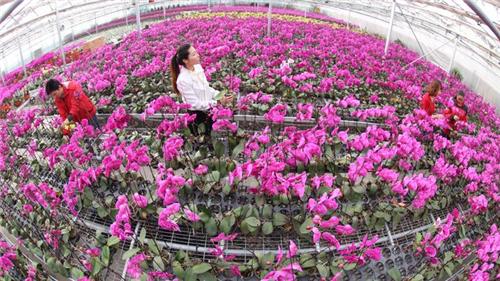 新疆:创造塔里木奇迹 沙漠里长出蝴蝶兰