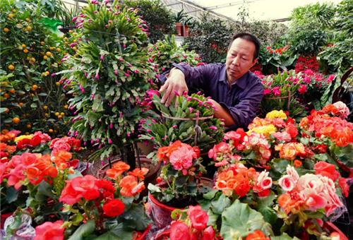 河北昌黎:花卉年产值近6000万元