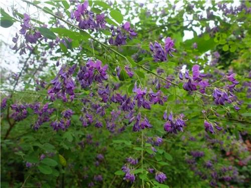 花量巨大 花色妖艳的观花灌木新品——草山苀子梢