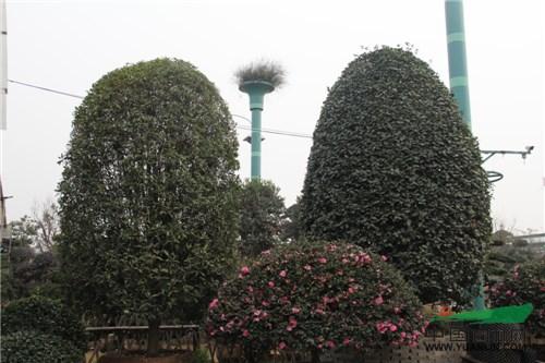 这么高大的桂花树,光架梯子都要花费不少功夫,所以工人每天只能修剪2