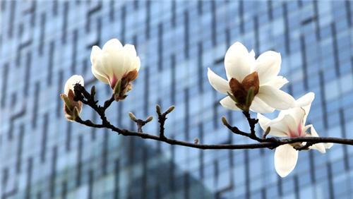 上海为啥选白玉兰作市花