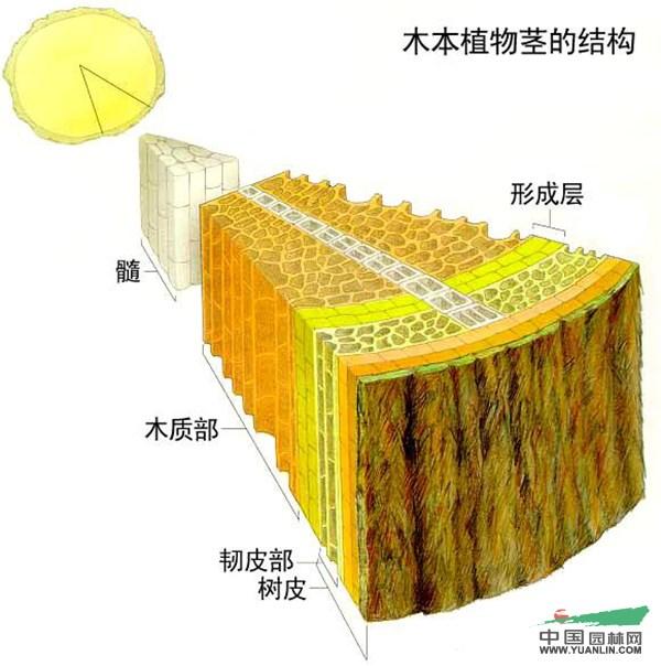 大树移植3:土球大小和高度的标准算法