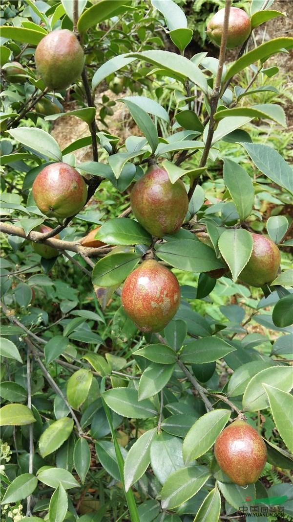中国园林网12月14日消息:油茶,别名茶油树,白花茶,因其种子可榨油