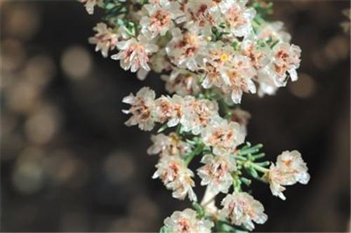 宁夏贺兰山保护区发现珍稀植物裸果木