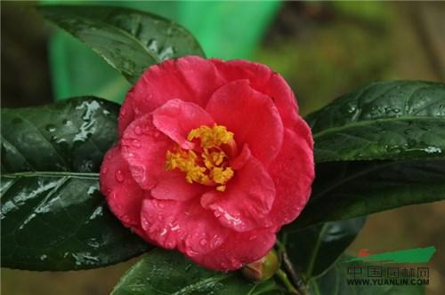 7个茶花新品种获登录
