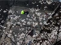 武大樱花季即将到来 最佳赏樱路线提前知