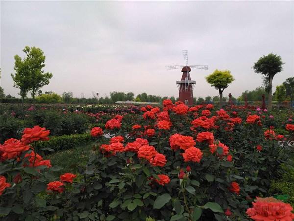 京津冀三地精品月季聚集一园,24小时后迎观花人海