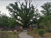 孔子手植银杏树 已获成功复壮保护