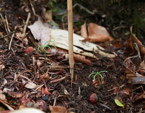 珍稀植物百山祖冷杉野生幼苗再获新生