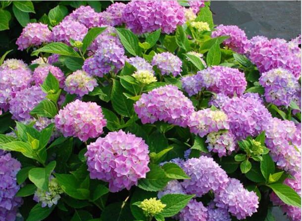 绣球花的养殖方法和开花变色小诀窍