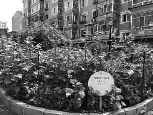 """哈尔滨:绿化社区""""菜园""""全部改花坛"""