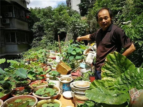 武汉50岁男子养荷花成痴 屋后培育130多盆碗莲