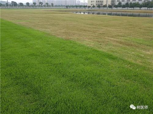 为何每年6-8月份草坪容易大面积发黄枯死?