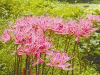 杭州植物园100余万株石蒜 如烟花般盛放