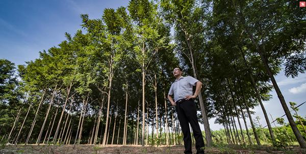 优秀造林绿化树种推荐——泓森槐