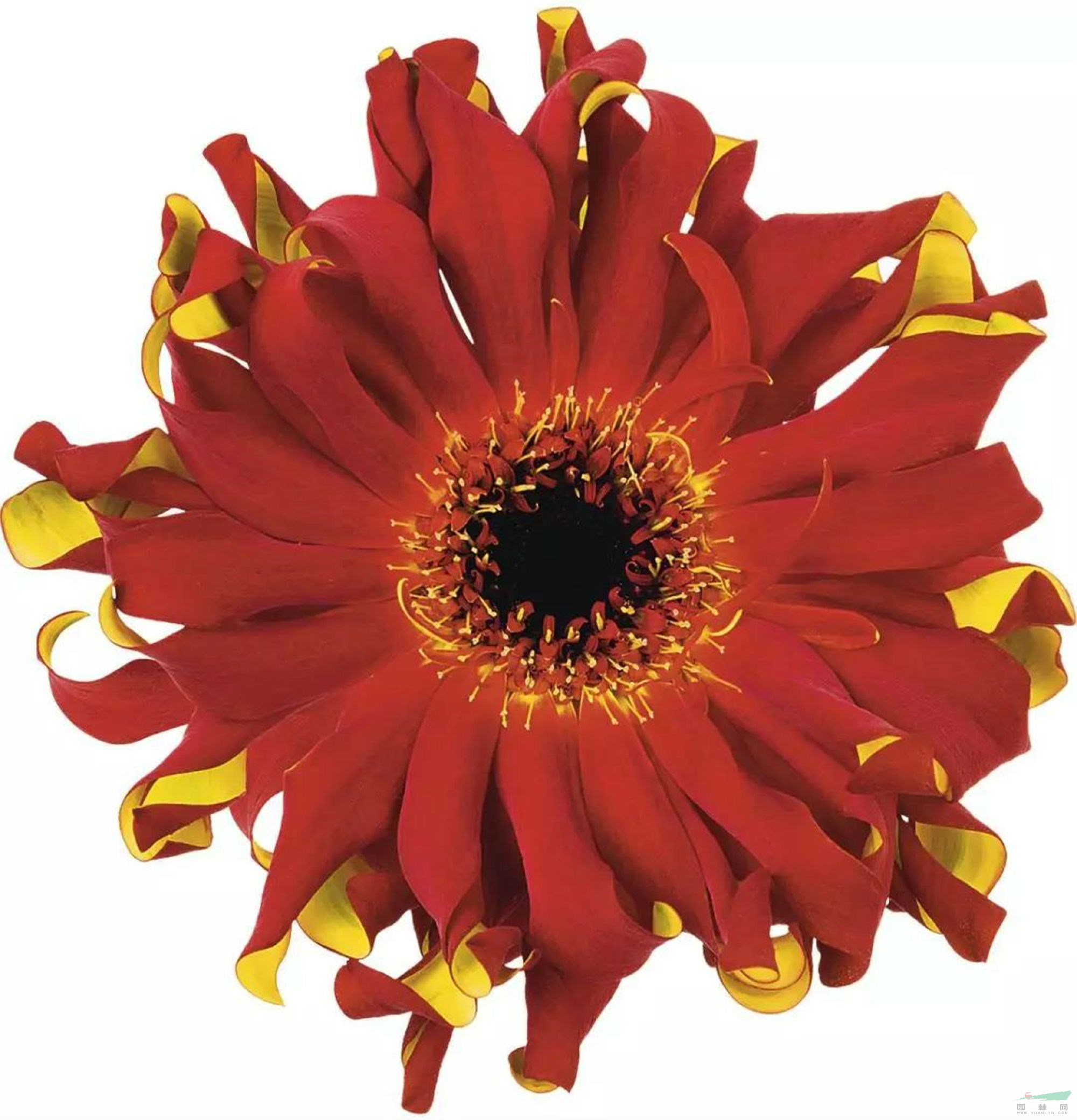 新型品种后劲十足 滇非洲菊将借