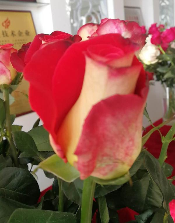 切花月季新品种 如意 入列云南省农业主导品种