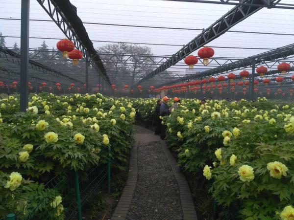 洛阳牡丹文化节发布花情预报