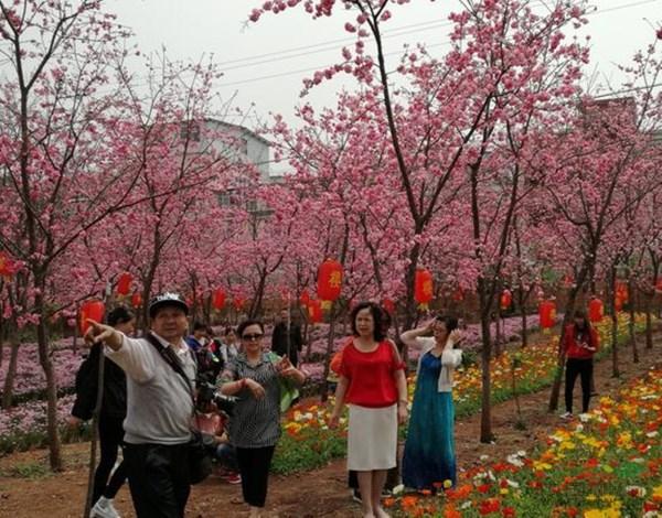 云南最后一场灿如云霞的樱花盛景震撼来袭