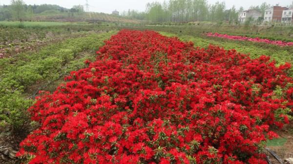 安徽六安:200种多彩杜鹃花激情绽放