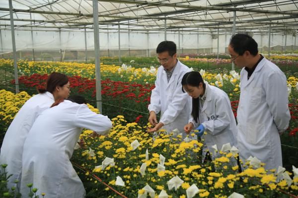 南京农大菊花新品种选育及推广应用成果丰硕