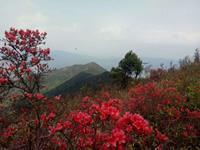 连城县朋口镇金龙村万亩红杜鹃进入盛花期