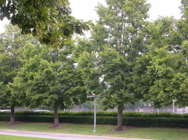 椴树系列之美洲椴'雷蒙德'