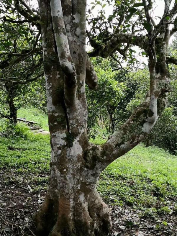 勐海:强化资源保护意识 科学管护古茶树