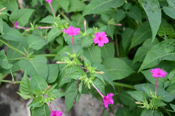 云南入侵物种名录发布 五色梅、红花酢浆草等榜上有名