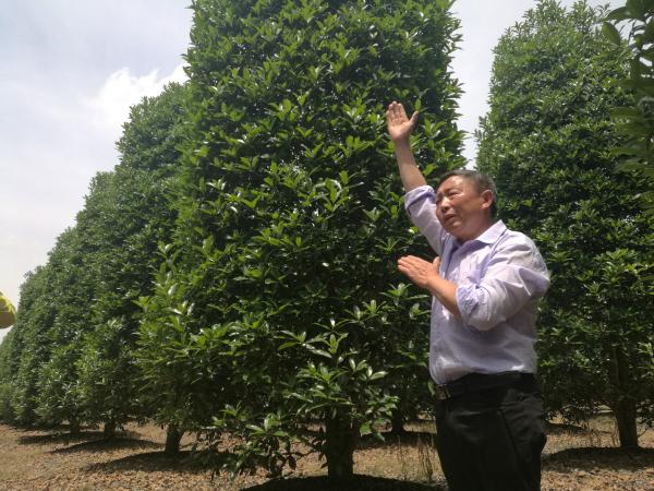 成都温江精品优质苗木量增价涨市场畅销