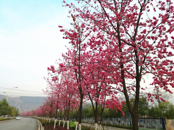 中国樱花产业协会推荐樱花为国花