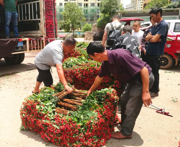 斗南花市:火龙珠切果量增价跌 价格同比下降50%