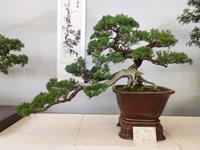 云南盆景在北京世园会国际盆景竞赛中大放异彩