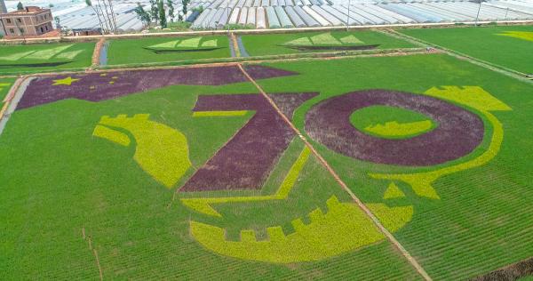 晋宁:60亩彩色水稻绘就美图为祖国庆生