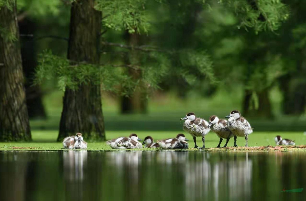 池杉湖湿地公园从荒凉滩涂蜕变荷花绽放百鸟争鸣的水上森林