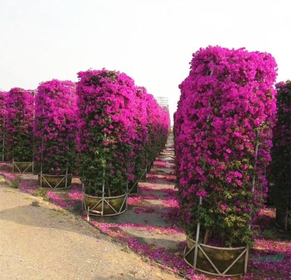 第七届中国昆明国际观赏苗木展览