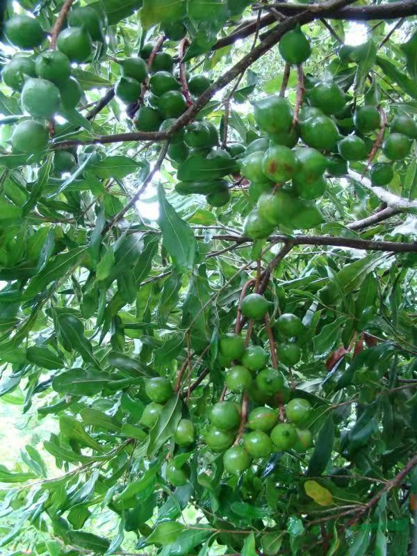 硕果累累的林木良种——澳洲坚果OC.jpg