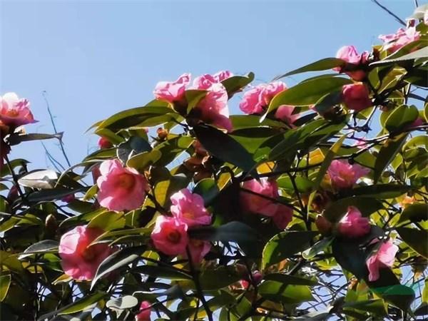 金牛注册登录中心茶花大咖寒潮中探寻山茶的美丽与坚强