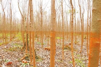 河南新乡:地方政府扶持行洪区种树 泄洪后导致万亩苗木枯死
