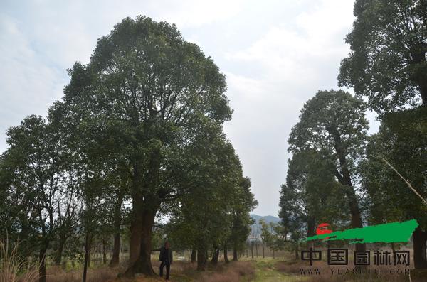 大香樟树基地01看出来这些树有多大了吧?